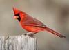 Cardinal (AllHarts) Tags: nature cardinal wingtips fishisland awesomebirds pogchallengewinnershalloffame pickyourart lakebarkleylodge naturelive♫adevotiontonature naturespotofgoldlevel2 stunninganimalsandbirds naturespotofgoldlevel1 naturespotofgoldlevel3 challengeclubchampions