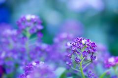 Sweet Alyssum (NatureWalk) Tags: flower macro sc nature photographer purple southcarolina greenville sweetalyssum takeawalkwithme naturewalkphotography lynnpilewski