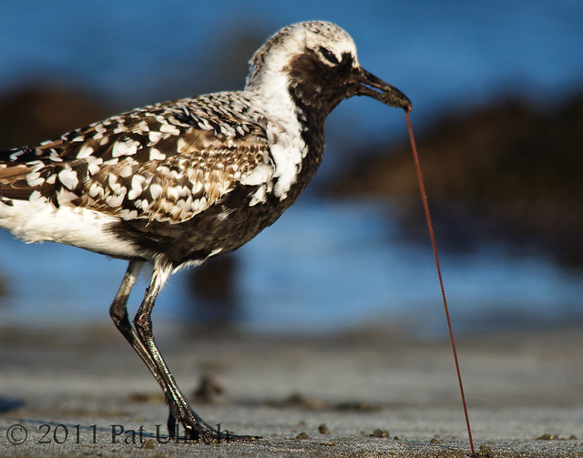 Worm pulled taut by plover - Pat Ulrich Wildlife Photography