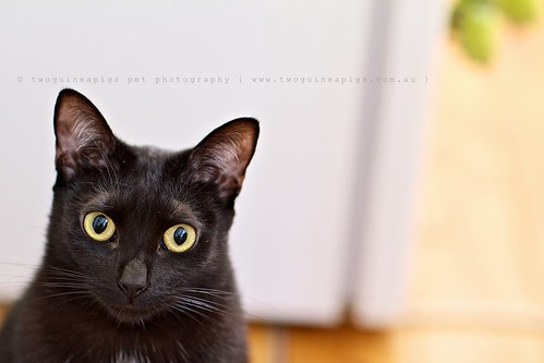 Mad black cat eyes pet portrait by twoguineapigs pet photography