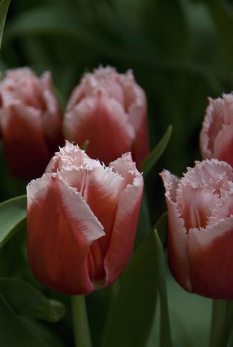 D2 bellagio conservatory tulip 1