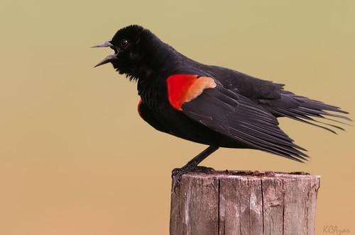 [フリー画像] 動物, 鳥類, ハゴロモガラス, 201105090500