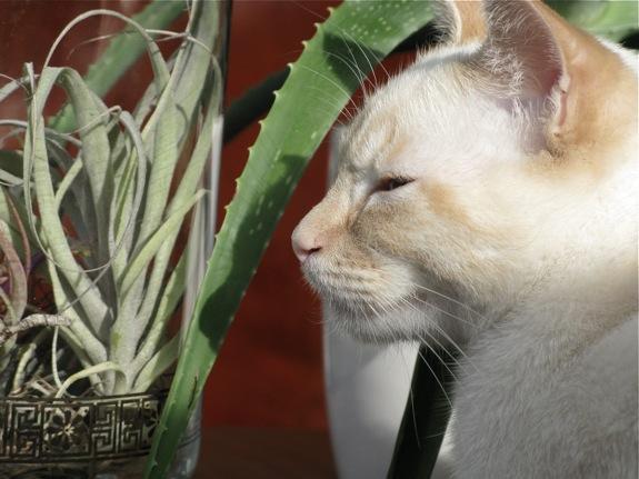 mingus white siamese cat air plant 002