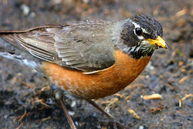 wet robin 3