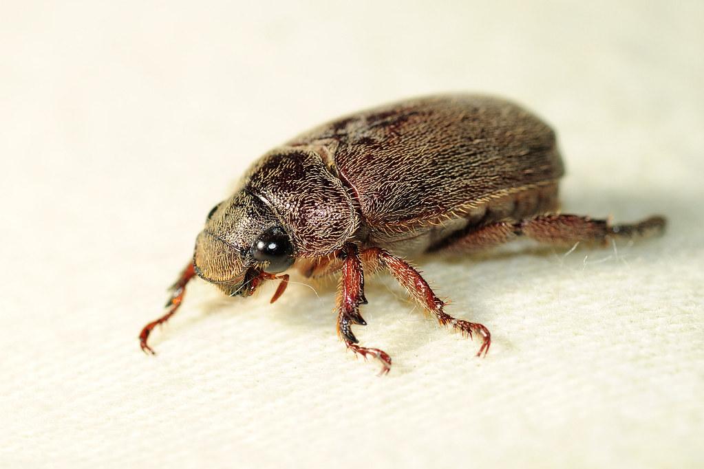 台灣褐金龜 Adoretus formosanus