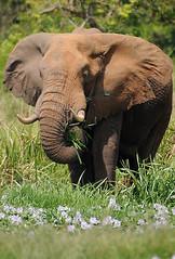 Bull Elephant, Murchison Falls NP, Uganda