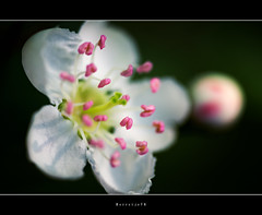 Pink bokeh  .  .  .  .  .@ single   [explored] (Borretje76) Tags: pink shadow white flower color green netherlands colors dutch iso100 groen shadows dof bokeh sony smooth sigma explore maco zwart wit bloesem roze bloem natuurmonumenten f35 flowerbud ochtendlicht bloemetje 180mm stamper explored meeldraden a580 egheria gupr borretje76 dslra580