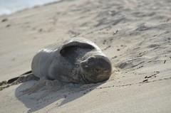 (Brian Russo) Tags: ocean beach water mammal hawaii sand nikon oahu endangered dslr monkseal hawaiianmonkseal criticallyendangered monachusschauinslandi d7000