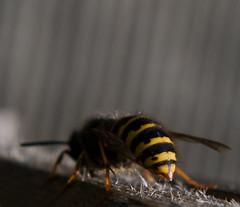 BeeHind (karin2xk) Tags: bug insect wooden wings wasp behind
