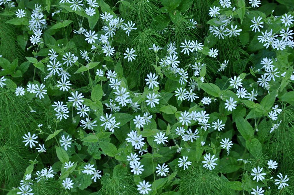 Звездчатка дубравная (Stellaria nemorum)