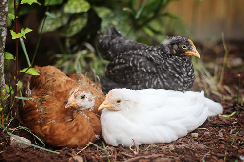 Chickens 326