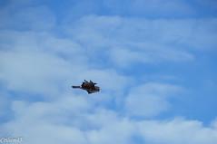 Epervier... (Crilion43) Tags: france vreaux divers ciel paysage centre epervier canon oiseaux tamron 1200d cher objectif arbres bleue charbonnire msange nature nuages rflex