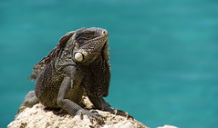 blue dreams (aokcreation) Tags: curaao wildlife iguana ocean