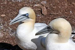 20160912_021_ile_bonaventure_papa_maman (lindy_scuba) Tags: bonaventure canada gannet perce quebec