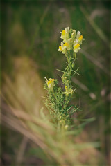 Yellow Toadflax (A Great Capture) Tags: snapdragon flower yellow plant agreatcapture agc wwwagreatcapturecom adjm toronto on ontario canada canadian photographer northamerica ash2276 ashleylduffus ald mobilejay jamesmitchell summer summertime 2016 colours colors eos digital natur nature naturaleza natura