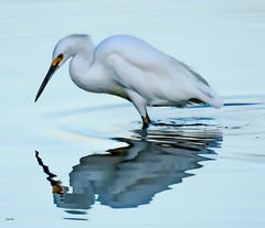 White Silence---in explore (beachpeepsrus) Tags: birds water egret beachfront california