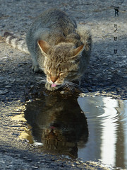 cat :-P yuck, I don't wanna drink from a puddle (Ryuu) Tags: cat feline kitty puddle water ripple reflection animal portrait pink tongue closedeyes funny cute kawaiineko pussy pet afterrain neko  furry whiskers closeup focus fz200 light shadows wildcat