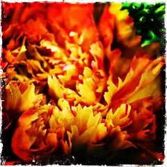 Office flowers. #collegepark #maryland #iPhone #commute #sidewalk #roadside  #iPhonemacro #macro #olloclip #olloclipmacro #flower #flowersofinstagram (Kindle Girl) Tags: instagramapp square squareformat iphoneography uploaded:by=instagram lofi collegepark maryland iphone commute sidewalk roadside iphone365 iphonemacro macro olloclip olloclipmacro flower flowersofinstagram