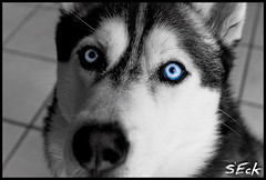 Shadow (Stephen Eckert) Tags: shadow dog husky blueeyes siberianhusky sleddog