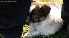 Kuckuck... (Rockabella Anne) Tags: park sun nature sunshine puppy essen puppies play natur sonne nordrheinwestfalen spielen sonnenschein welpe werden whelp northrhinewestphalia hundewelpen essenwerden whelps