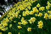 Project 365 #92: 020411 A Host... (comedy_nose) Tags: daffodils porject365 newshampark ahost