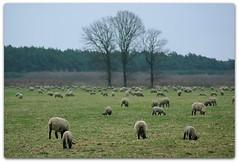 flock (rafischatz... www.rafischatz-photography.de) Tags: nature animal sheep pentax flock tamron70300 k200d