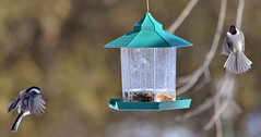 Dinner Party - Chickadees cutting a rug (ctberney) Tags: ontario canada nature birds backyard birdfeeder stratford
