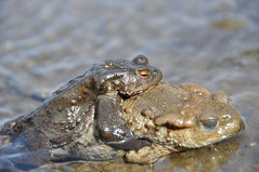 Long Time Coming (Tim Melling) Tags: 6 dale toad april common bufo 2011 denby timmelling