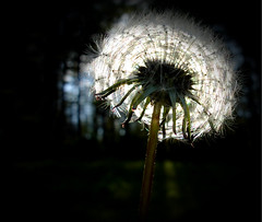 A Little Wish (Kasey Guess (The Overcast Kid)) Tags: life flower macro love nature outside happy weed heart dream dandelion fairy dreams wishes cinderella wish tale