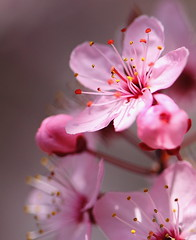 Mother Nature needs to stop sniffing Sharpies (Janine Graf) Tags: pink flowers macro tree nature canon spring bokeh plum stamen 5d blooms mothernature sharpies plumtree markii plumblossoms janine1968