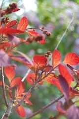 (yogtze) Tags: pink red summer plant flower color detail macro green rot nature beautiful outdoors leaf bush warm ast branch purple blossom sommer natur pflanze rosa lila petal grün multicolored blume blatt blüte farbe bunt strauch flowerhead baumblüte schön blütenblatt borkeh ausenaufnahme