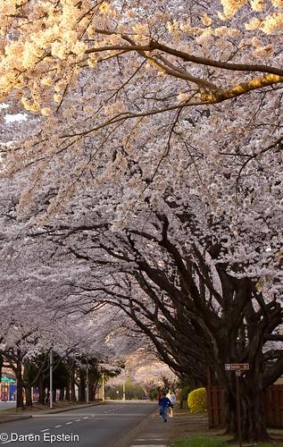 Sakura Street