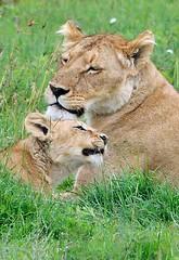 Lioness & Cub, Ngorogoro Crater