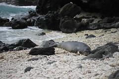 _MG_2814 (Anna Kipervaser) Tags: ocean beauty island hawaii peace oahu tranquility snorkeling pele monkseal