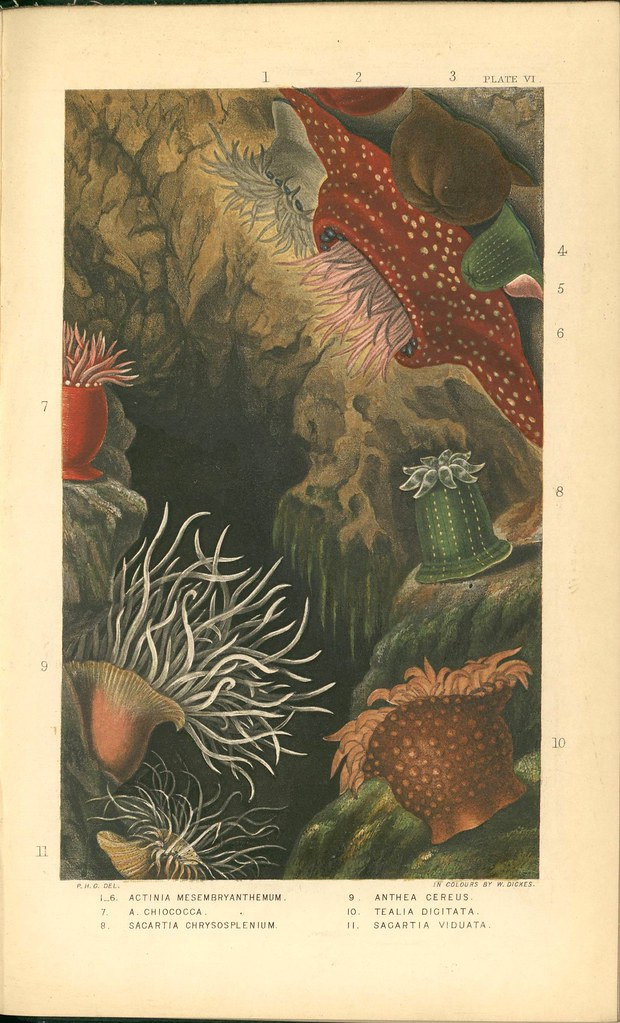 chromolithograph of sea anemones