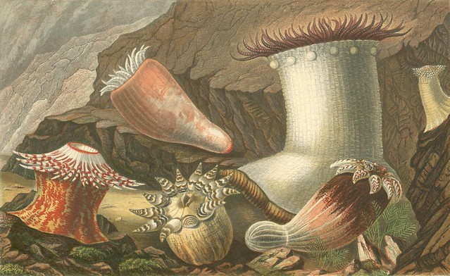 victorian era actiniaria (sea anemone) illustrations