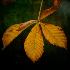 Autumn (borealnz) Tags: autumn tree fall dark golden leaf chestnut veins smcpentaxda50135mmf28edifsdm pentax50135