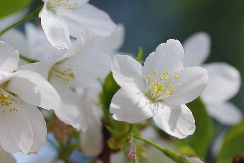 oshima-zakura
