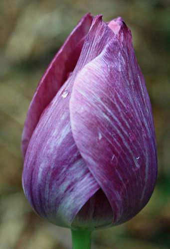 Purple & White Tulip with Raindrop