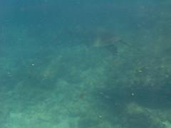 Tartaruga: sim, tem uma nessa foto. (Raphael R. Pais) Tags: ocean sea fish coral mar sand rocks underwater turtle mergulho dive tartaruga pedras arraialdocabo fotosub photosub