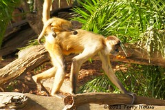 2011 04 17 (206e) Spider Monkey @ Auckland Zoo-A55v-09 (Terry Hollis) Tags: newzealand cute sony auckland top20nature aotearoa spidermonkey aucklandzoo westernsprings dslt terryhollis minoltasonyaf75300mmf4556d a55v atelesatelinae