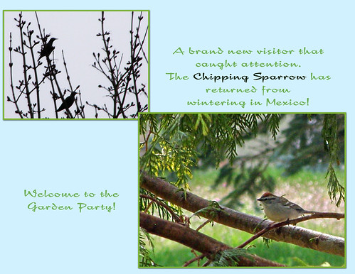 Chipping Sparrow collage