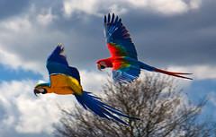 Woburn Park Parrots (rawspirits) Tags: parrots woburn