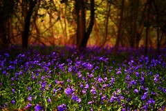 Forest woodlands carpet of bluebells (onecreativephotography) Tags: morning trees sea mist nature beautiful fog bluebells forest sunrise woodland carpet dawn countryside spring woods day break purple country calming spooky stunning april bluebell apr errie 2011