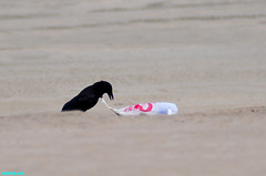 TighterAndTighter (mcshots) Tags: california usa bird beach birds trash neck coast losangeles stock flight strangle socal plasticbag crow mcshots twisted
