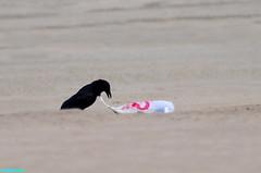 TighterAndTighter (mcshots) Tags: california usa bird beach birds trash neck coast losangeles stock flight strangle socal plasticbag crow mcshots twisted