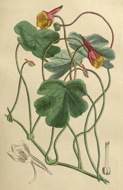 Tropaeolum tuberosum (Capucine tubereuse)