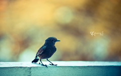 Summer bird (cishore) Tags: summer india house bird wall bokeh small front explore page hyderabad 70200 cishore kishore nagarigari kishorencom
