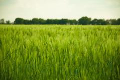 [フリー画像] 花・植物, 小麦・コムギ, 田畑・農場, フランス, グリーン, 201104271300