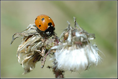 Coccinella septempunctata -   (Eran Finkle) Tags: macro closeup ladybird ladybug ladybeetle coccinellidae coccinellaseptempunctata